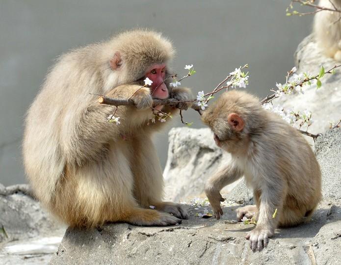 「団子より花」が好き? 上野動物園のニホンザル