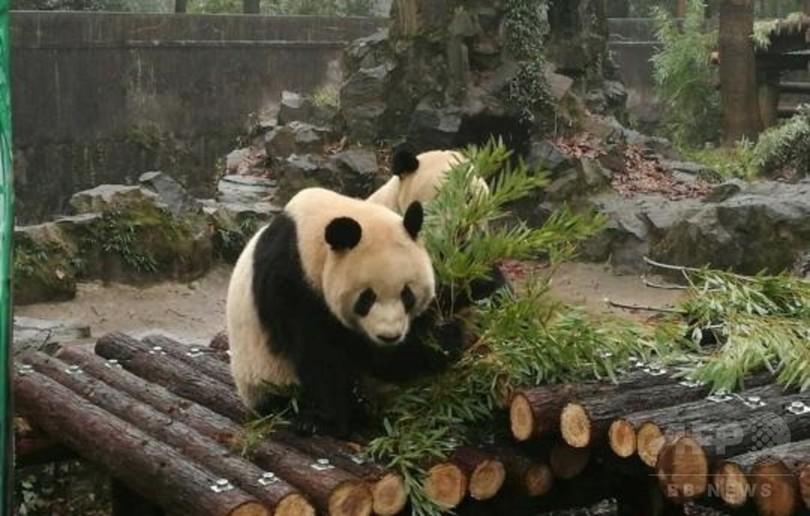 杭州のジャイアントパンダ「成就」、危険な状態続く 急性胃拡張で手術