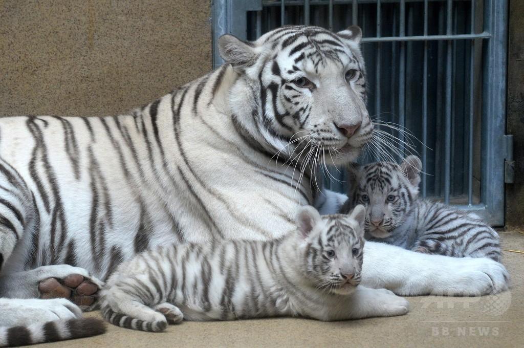 生後2か月、ホワイトタイガーの赤ちゃん チェコ