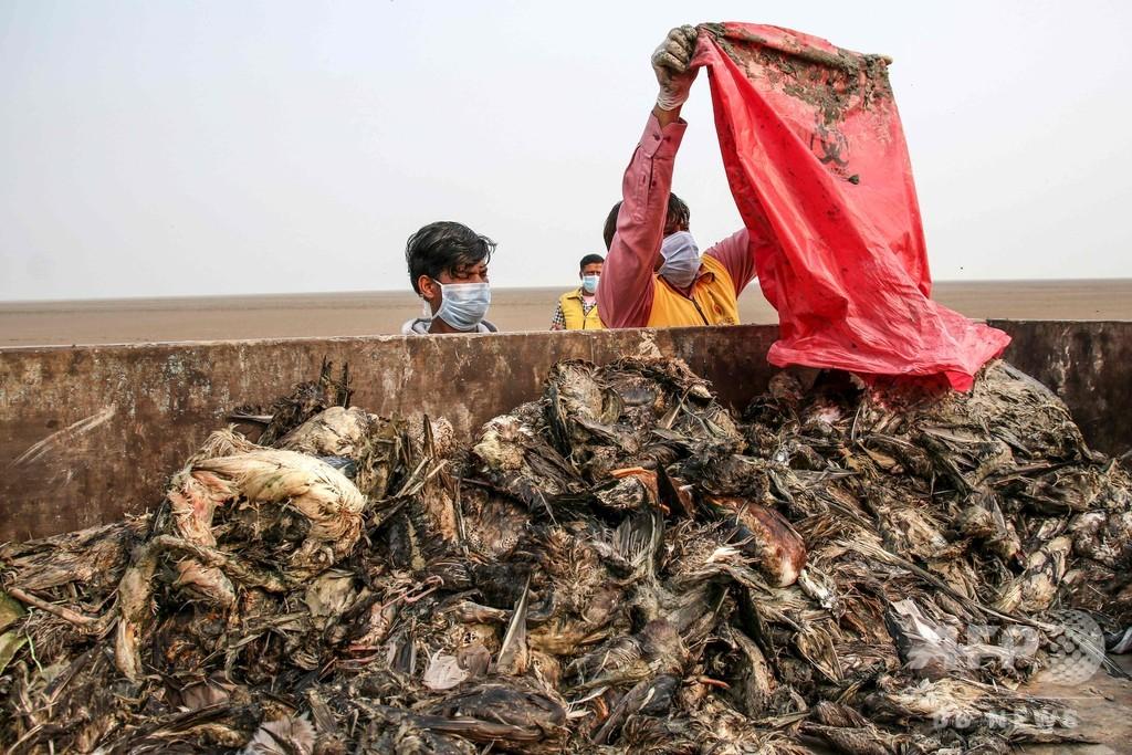 湖に渡り鳥8000羽の死骸、ボツリヌス中毒の可能性 インド