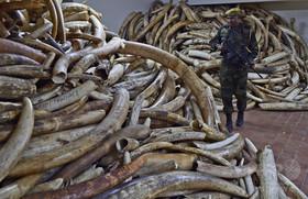 中国で象牙価格暴落、密猟撲滅に期待 ゾウ保護団体