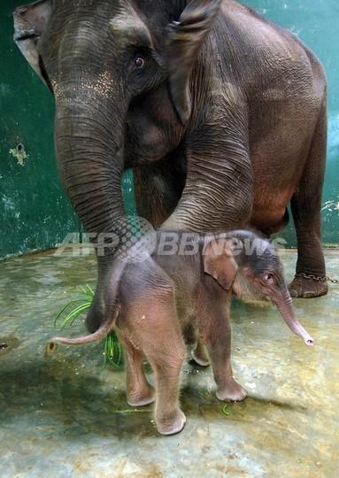 スマトラゾウまた殺される、毒入りパイナップルが原因か インドネシア