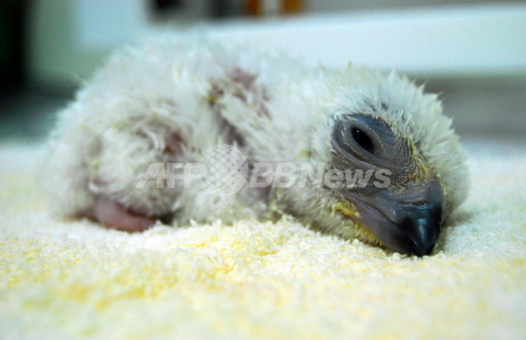 いつか大空へ・・・絶滅寸前のフィリピンワシの赤ちゃん生まれる