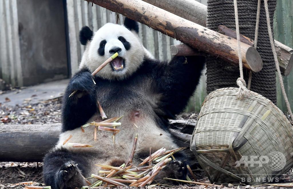 中国に広大な「国立パンダ公園」誕生へ 保護と繁殖を目指す
