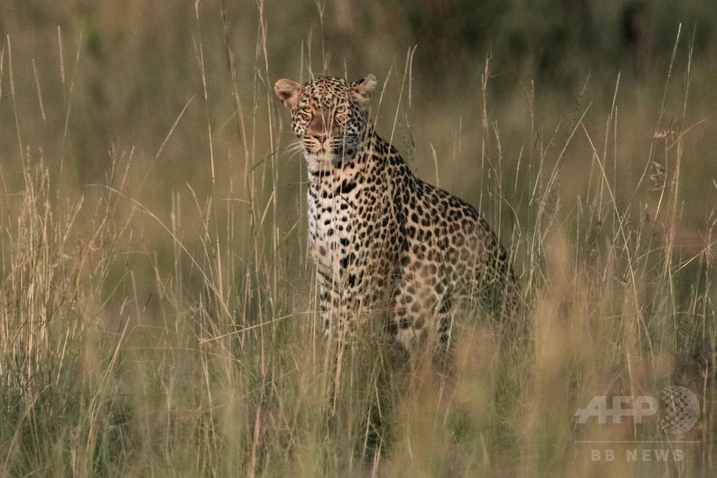 ヒョウが3歳児連れ去り食べる、捕獲作戦続く ウガンダ