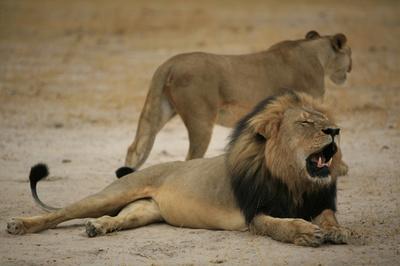 国立公園周辺の狩猟規制を強化、人気ライオン殺害で ジンバブエ