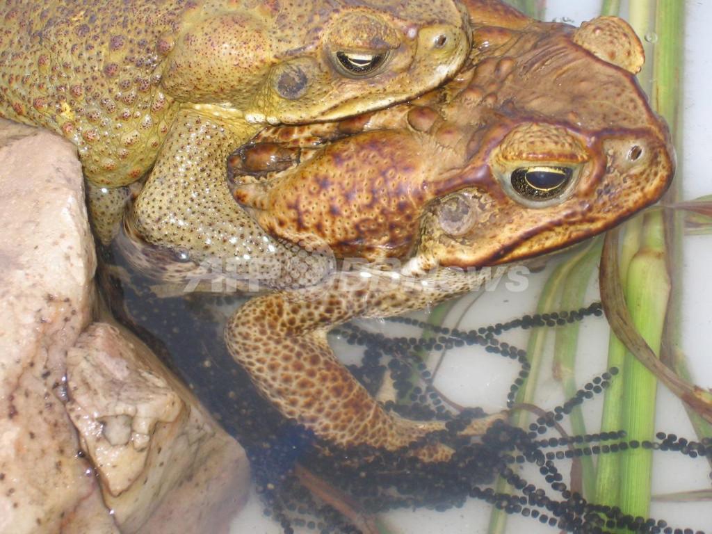オオヒキガエルのメスは小さなオスが嫌い?体膨らませて選別 豪研究