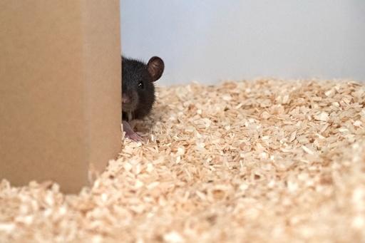 褒美よりも遊びたい? ネズミはかくれんぼ好き、独研究