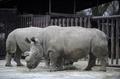 チェコの動物園でキタシロサイ死ぬ、地球上に残り4頭