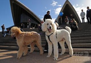 絶滅危惧種の追跡調査に飼い犬を抜てき、ふん嗅ぎ分けで生態解明 豪