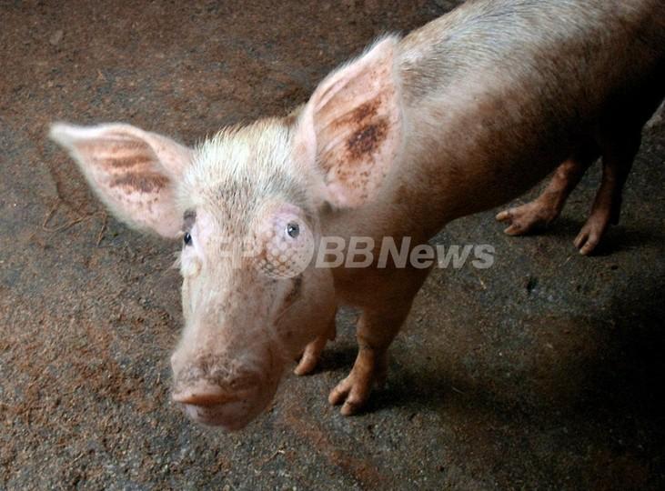 新型インフルに感染のブタは人間と似た症状を示す、タイ・チュラロンコン大が発表