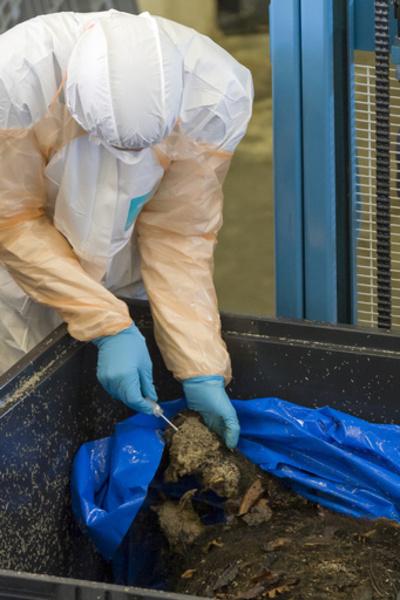 アフリカ豚コレラ、フランスにも迫る ベルギー国境でイノシシ大量駆除へ