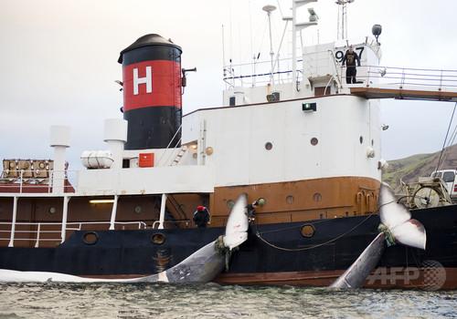 アイスランド捕鯨大手が日本を非難、今季の捕鯨中止を発表