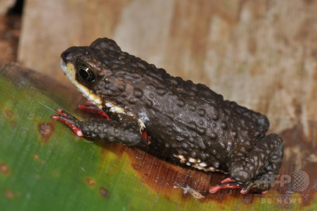 新種の有毒ヒキガエル3種、ブラジルで発見