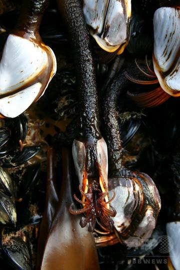 津波がれきが「いかだ」に、海洋生物が集団移動 米研究