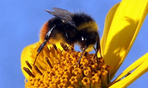 ハチへの殺虫剤の影響、従来研究上回る 大量死解明にヒントか?