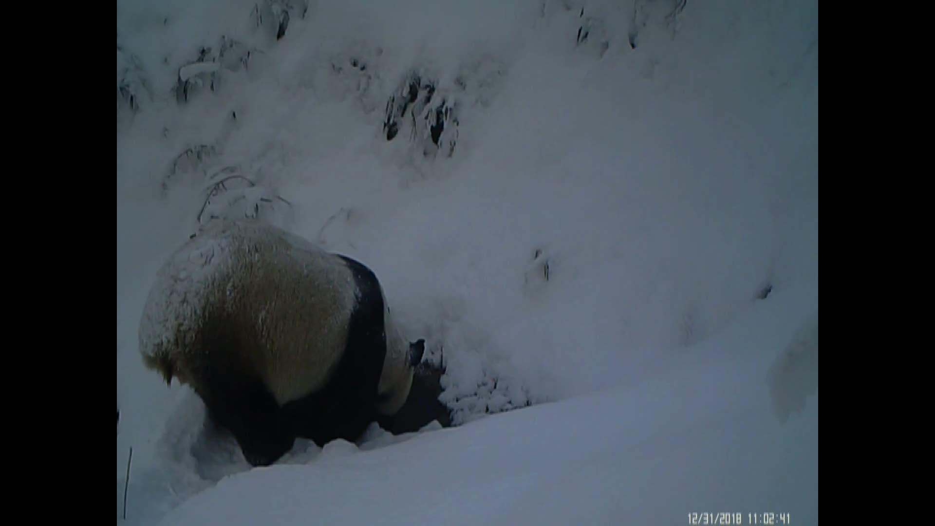 動画:野生パンダの貴重な映像 四川省竜渓・虹口国家級自然保護区