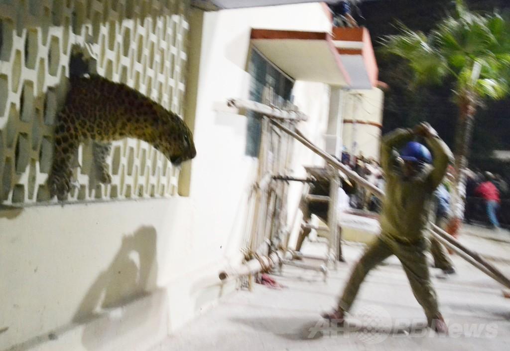 インドの都市にヒョウ出没、市民はパニック