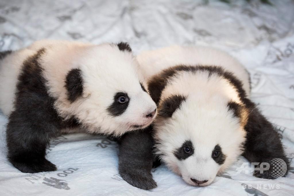 ベルリン動物園で双子の赤ちゃんパンダ公開