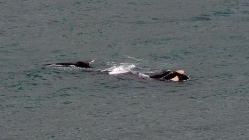 動画:NZに珍客到来、クジラ出現で花火大会1週間延期に