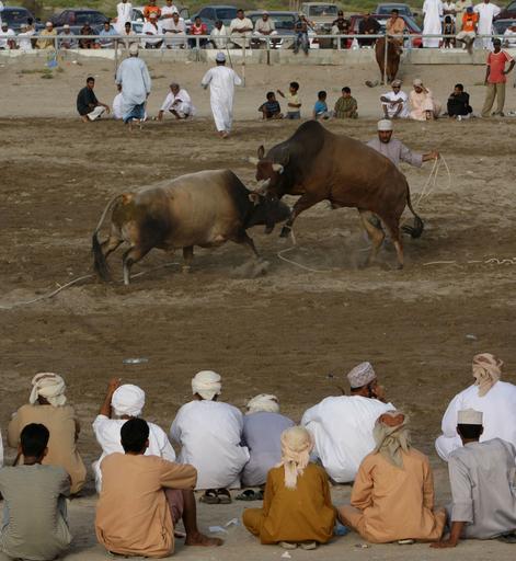 勇壮なオマーンの闘牛、ウシのぶつかり合い