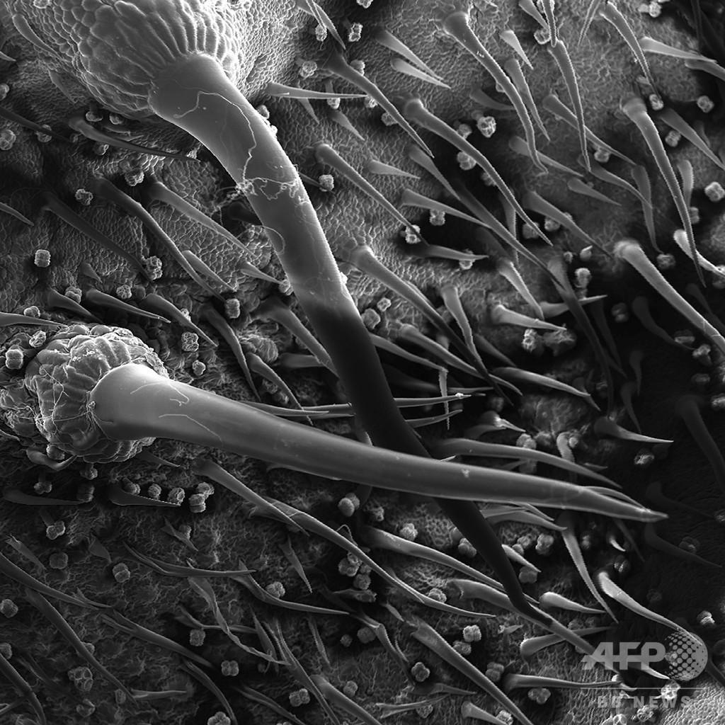 オーストラリアのとげ植物に「サソリに似た」神経毒、豪研究チーム