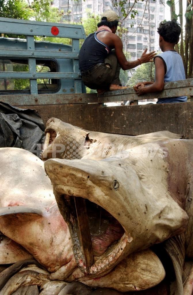 サメ捕獲量、最多国はインドとインドネシア