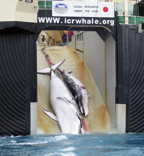 調査捕鯨母船「日新丸」、ハラル認証を取得