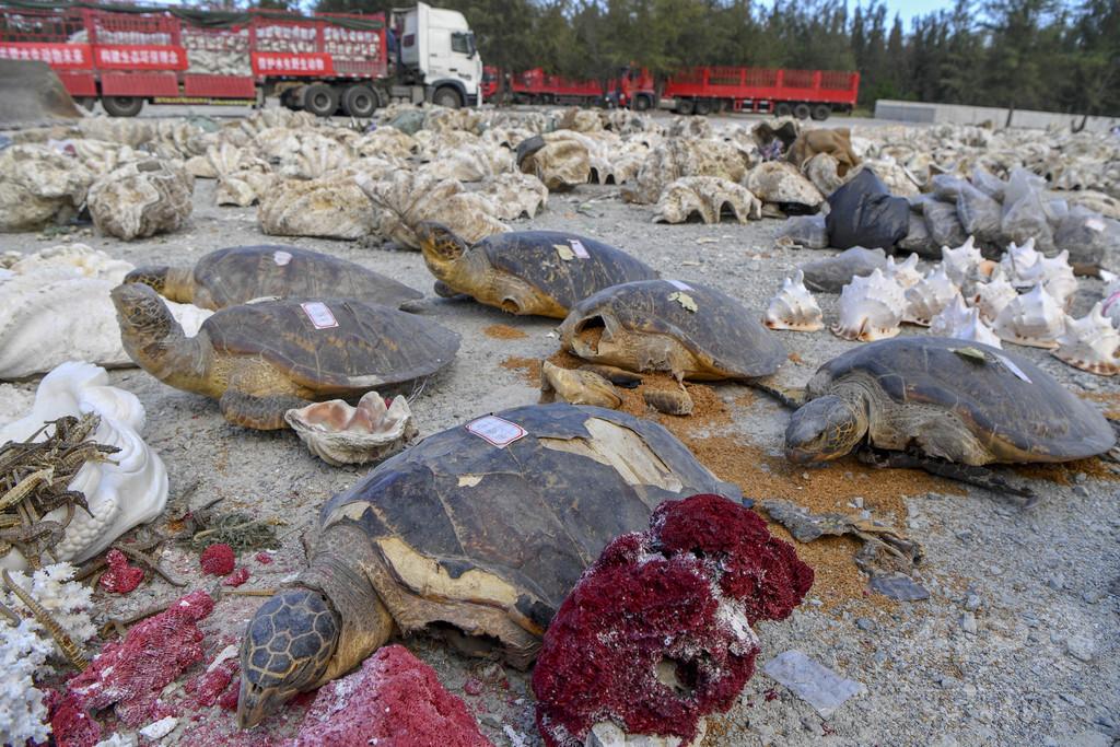 ウミガメ標本、シャコガイなど40トン押収、廃棄 海南