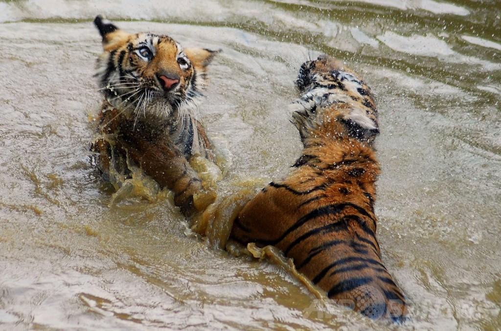野生のトラが村人襲う、12日間で4人死亡 インド