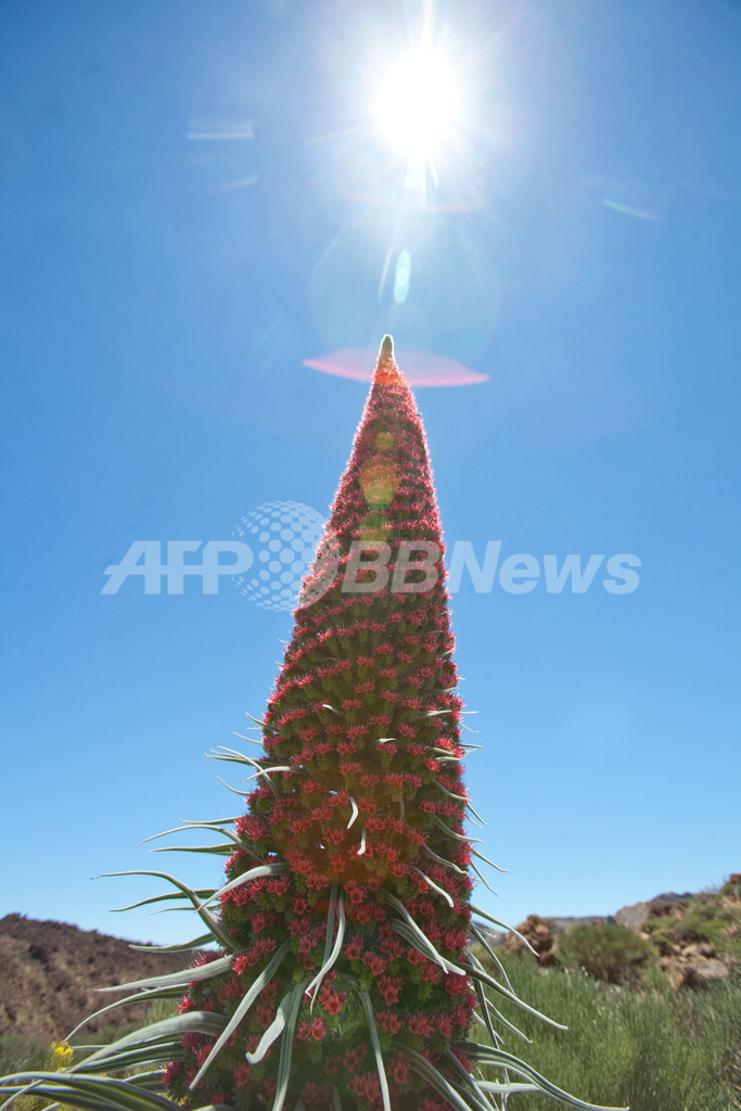 真夏のクリスマスツリー?カナリア諸島に咲く赤い花