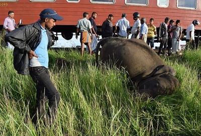 ゾウの子ども3頭、列車と衝突死 スリランカ