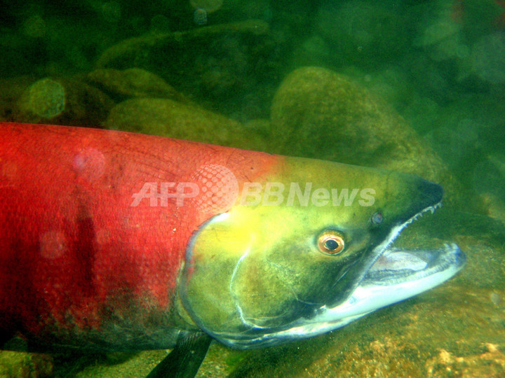 カナダのサケの大量死、原因は遺伝的欠陥か サイエンス誌