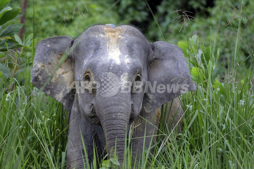 ボルネオ島に住む小型アジアゾウ、ジャワ絶滅種の生き残りか WWF報告