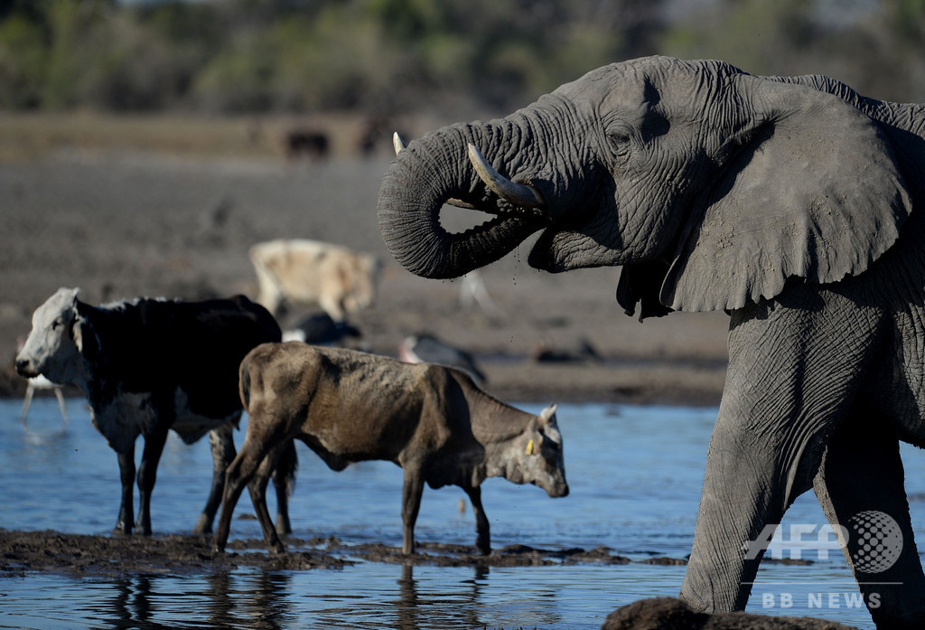 ボツワナ、干ばつでゾウ100頭以上死ぬ 炭疽が原因の可能性も