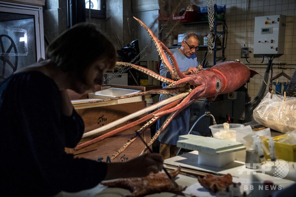 巨大イカとシーラカンス、お披露目前にお色直し 仏博物館