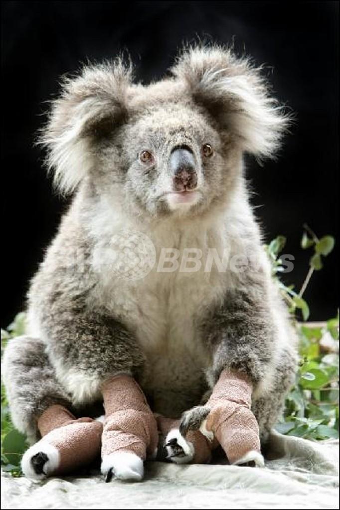 山火事を生き延びたコアラのサム、動画サイトで話題に オーストラリア