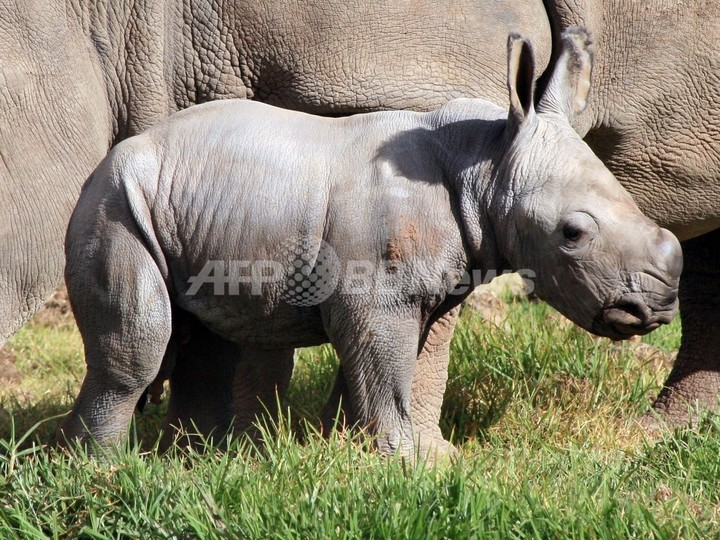 シロサイの赤ちゃん誕生、「希望の兆し」 豪動物園