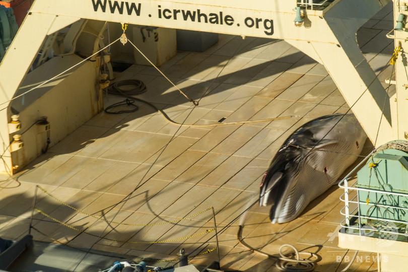 南大西洋のクジラ禁漁区案、日本など捕鯨支持国の反対で否決