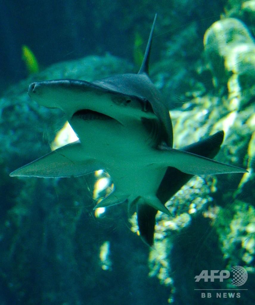 「肉食」サメ、海草も食べる雑食だった 米研究
