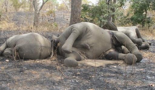 1晩でゾウ89頭が密猟の犠牲に、チャド WWF報告