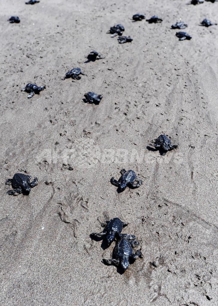 大海原へ、ウミガメの放流 エルサルバドル