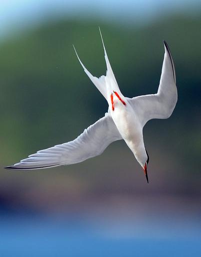 魚を狙うベニアジサシ、カリブ海