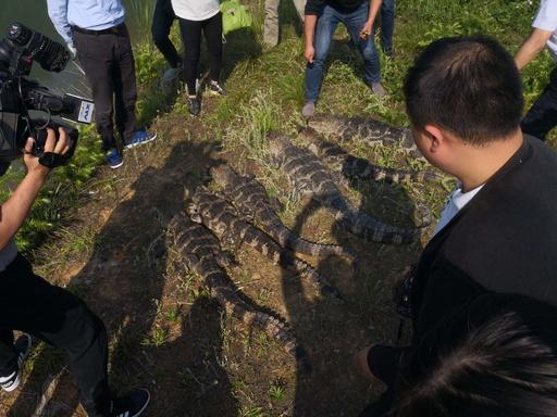 「生きた化石」ヨウスコウワニ、再び日本へ輸出