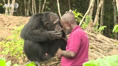 動画:「チンパンジー島」最後の1頭、コートジボワールで保護の取り組み