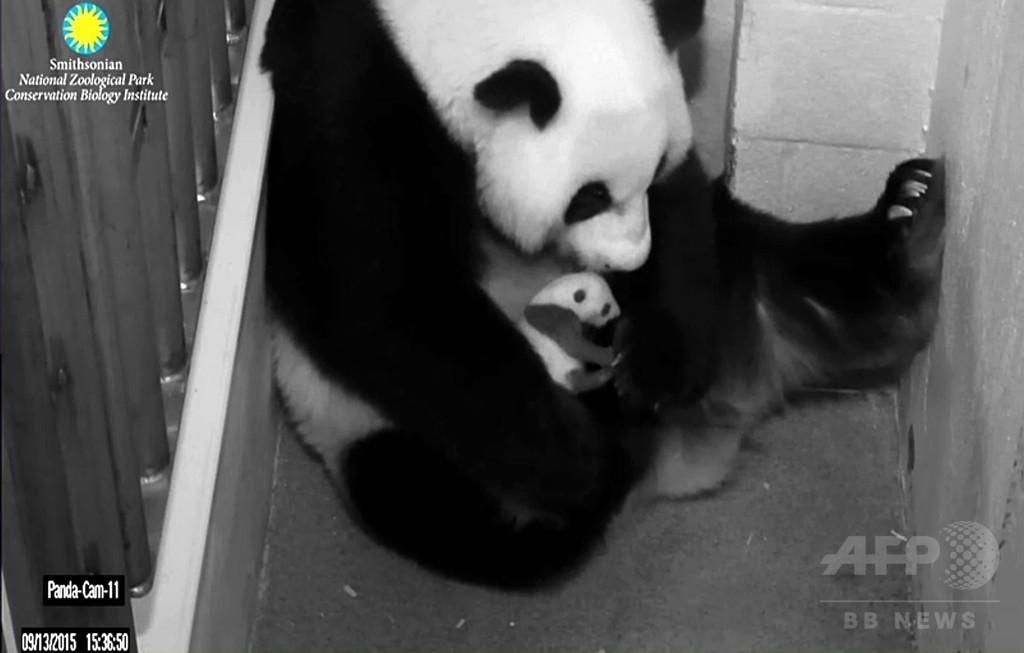 ママにだっこされる赤ちゃんパンダ、米首都動物園