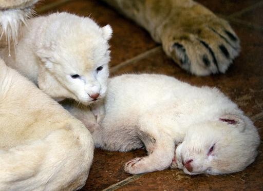 珍しいホワイトライオンの双子が誕生、セルビア