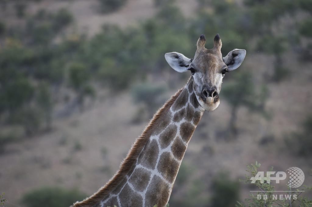 ナミビア、野生動物1000頭を競売へ 草地保護と資金調達目指す