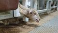豪、羊の生体輸出を大幅見直し 虐待映像受け
