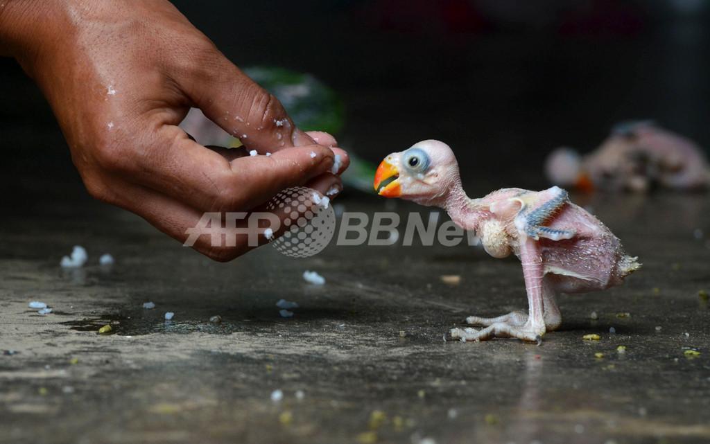 密猟されたオウムの赤ちゃん、インド・ナガランド州